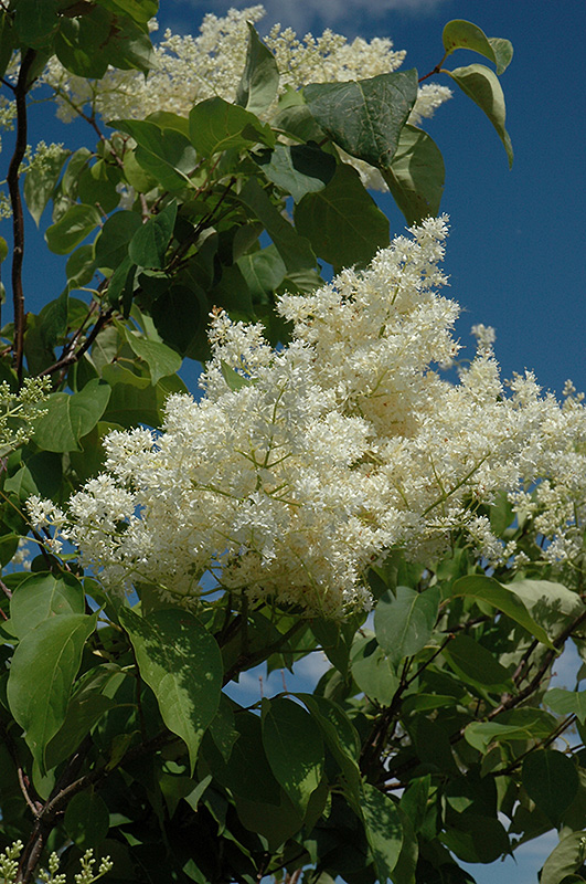Ivory Silk Tree Lilac Tree Form Syringa Reticulata Ivory Silk