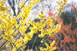 Arnold Promise Witchhazel (Hamamelis x intermedia 'Arnold Promise') at Van Atta's Greenhouse