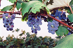 Concord Grape (Vitis 'Concord') at Van Atta's Greenhouse