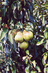 Bartlett Pear (Pyrus communis 'Bartlett') at Van Atta's Greenhouse