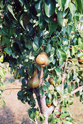 Bosc Pear (Pyrus communis 'Bosc') at Van Atta's Greenhouse
