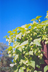Hops (Humulus lupulus) at Van Atta's Greenhouse