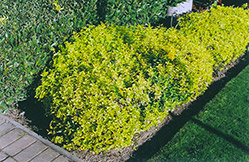 Gold Prince Wintercreeper (Euonymus fortunei 'Gold Prince') at Van Atta's Greenhouse