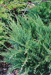 Sea Green Juniper (Juniperus chinensis 'Sea Green') at Van Atta's Greenhouse