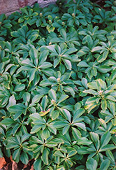 Japanese Spurge (Pachysandra terminalis) at Van Atta's Greenhouse