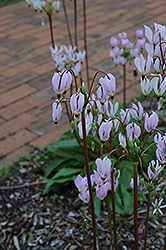Shooting Star (Dodecatheon meadia) at Van Atta's Greenhouse