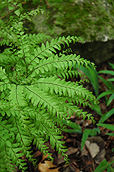 Northern Maidenhair Fern (Adiantum pedatum) at Van Atta's Greenhouse