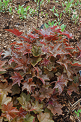 Palace Purple Coral Bells (Heuchera micrantha 'Palace Purple') at Van Atta's Greenhouse