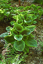 Frances Williams Hosta (Hosta 'Frances Williams') at Van Atta's Greenhouse