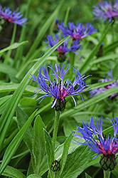 Mountain Bluet (Centaurea montana) at Van Atta's Greenhouse