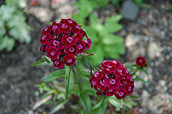 Sweet William (Dianthus barbatus) at Van Atta's Greenhouse