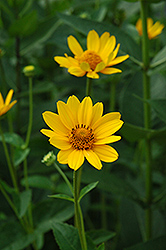 False Sunflower (Heliopsis helianthoides) at Van Atta's Greenhouse