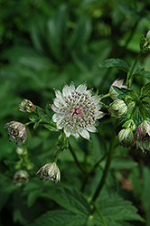 Great Masterwort (Astrantia major) at Van Atta's Greenhouse