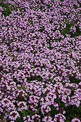 Red Creeping Thyme (Thymus praecox 'Coccineus') at Van Atta's Greenhouse