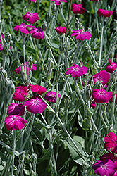Rose Campion (Lychnis coronaria) at Van Atta's Greenhouse