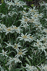 Alpine Edelweiss (Leontopodium alpinum) at Van Atta's Greenhouse