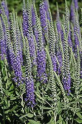 Wooly Speedwell (Veronica spicata 'var. incana') at Van Atta's Greenhouse