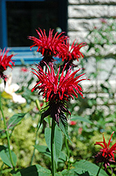 Jacob Cline Beebalm (Monarda 'Jacob Cline') at Van Atta's Greenhouse