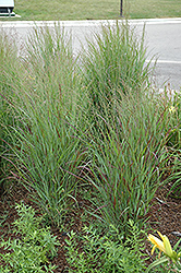 Shenandoah Reed Switch Grass (Panicum virgatum 'Shenandoah') at Van Atta's Greenhouse