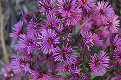 Woods Pink Aster (Aster 'Woods Pink') at Van Atta's Greenhouse