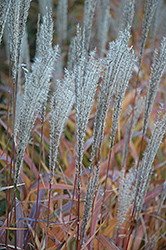 Flame Grass (Miscanthus sinensis 'Purpurascens') at Van Atta's Greenhouse