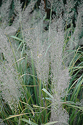 Korean Reed Grass (Calamagrostis brachytricha) at Van Atta's Greenhouse