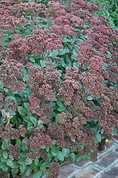 Matrona Stonecrop (Sedum 'Matrona') at Van Atta's Greenhouse