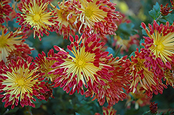 Matchsticks Chrysanthemum (Chrysanthemum 'Matchsticks') at Van Atta's Greenhouse