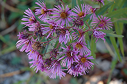 New England Aster (Aster novae-angliae) at Van Atta's Greenhouse