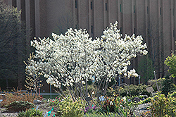 Autumn Brilliance Serviceberry (Amelanchier x grandiflora 'Autumn Brilliance') at Van Atta's Greenhouse