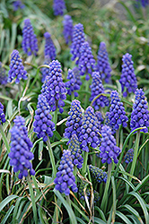 Grape Hyacinth (Muscari armeniacum) at Van Atta's Greenhouse