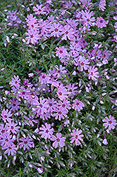 Fort Hill Moss Phlox (Phlox subulata 'Fort Hill') at Van Atta's Greenhouse