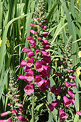 Camelot Rose Foxglove (Digitalis purpurea 'Camelot Rose') at Van Atta's Greenhouse