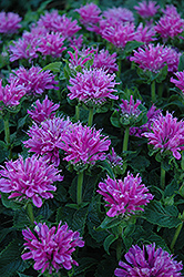 Petite Delight Beebalm (Monarda 'Petite Delight') at Van Atta's Greenhouse