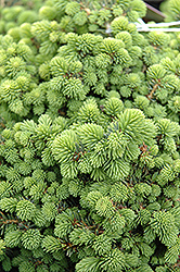 Little Gem Spruce (Picea abies 'Little Gem') at Van Atta's Greenhouse