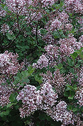 Dwarf Korean Lilac (Syringa meyeri 'Palibin') at Van Atta's Greenhouse