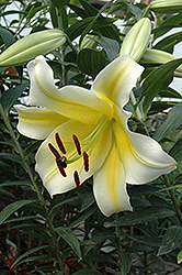 Conca D'Or Lily (Lilium 'Conca D'Or') at Van Atta's Greenhouse