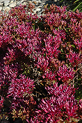 Dragon's Blood Stonecrop (Sedum spurium) at Van Atta's Greenhouse