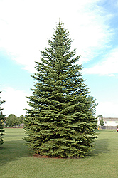 Colorado Spruce (Picea pungens) at Van Atta's Greenhouse