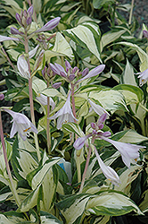 Pathfinder Hosta (Hosta 'Pathfinder') at Van Atta's Greenhouse