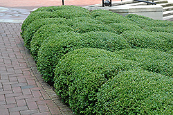 Chicagoland Green Boxwood (Buxus 'Glencoe') at Van Atta's Greenhouse