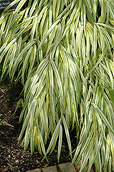 Golden Variegated Hakone Grass (Hakonechloa macra 'Aureola') at Van Atta's Greenhouse