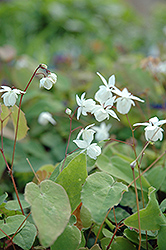 White Bishop's Hat (Epimedium x youngianum 'Niveum') at Van Atta's Greenhouse