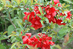 Texas Scarlet Flowering Quince (Chaenomeles speciosa 'Texas Scarlet') at Van Atta's Greenhouse
