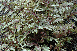Red Beauty Painted Fern (Athyrium nipponicum 'Red Beauty') at Van Atta's Greenhouse