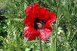 Beauty of Livermere Poppy (Papaver orientale 'Beauty of Livermere') at Van Atta's Greenhouse