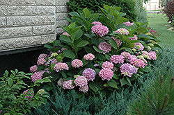 Endless Summer® Hydrangea (Hydrangea macrophylla 'Endless Summer') at Van Atta's Greenhouse