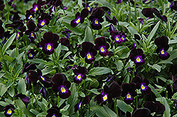 Bowles Black Pansy (Viola cornuta 'Bowles Black') at Van Atta's Greenhouse