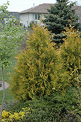 Yellow Ribbon Arborvitae (Thuja occidentalis 'Yellow Ribbon') at Van Atta's Greenhouse