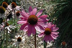 Tennessee Coneflower (Echinacea tennesseensis) at Van Atta's Greenhouse